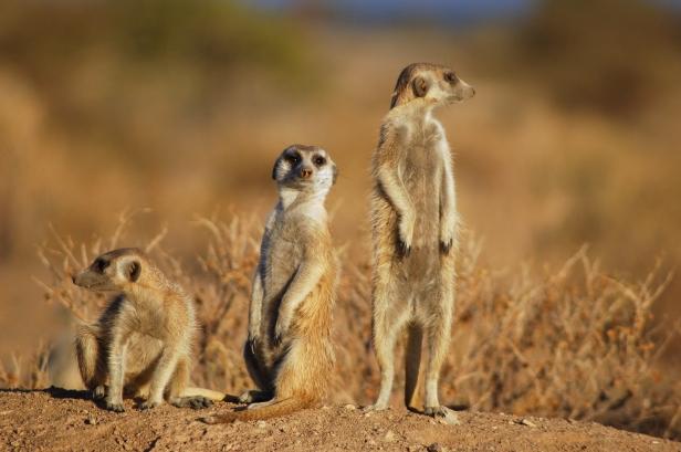 Suricates,_Namibia-2.jpg